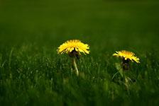 Dandelions-Late Spring-sm
