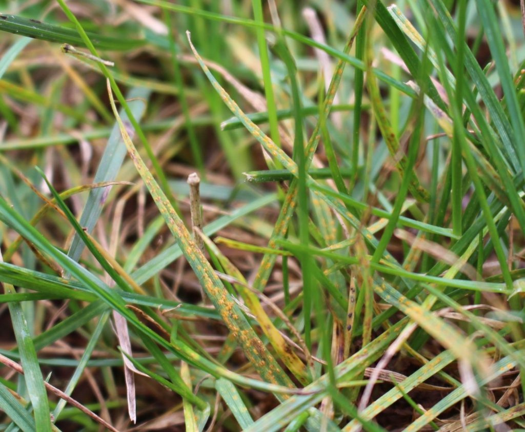lawn-rust-disease