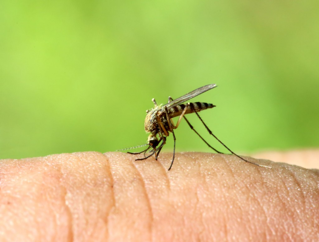 28607274 - mosquito drinks blood out of man - macro shot